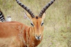 Impala Safari Kenia