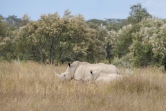 Rinoceronte blanco Lago Nakuru