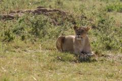 Leones Masai Mara