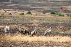 Buitres del Masai Mara
