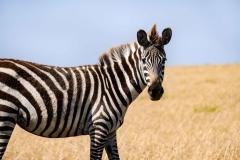 .ebras Masai Mara