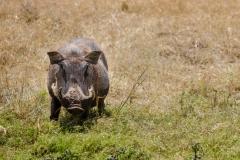 Pumba Masai Mara