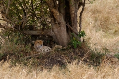 Guepardo Masai Mara