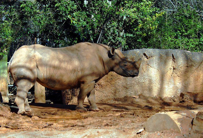 Rinoceronte blanco en Chitwan