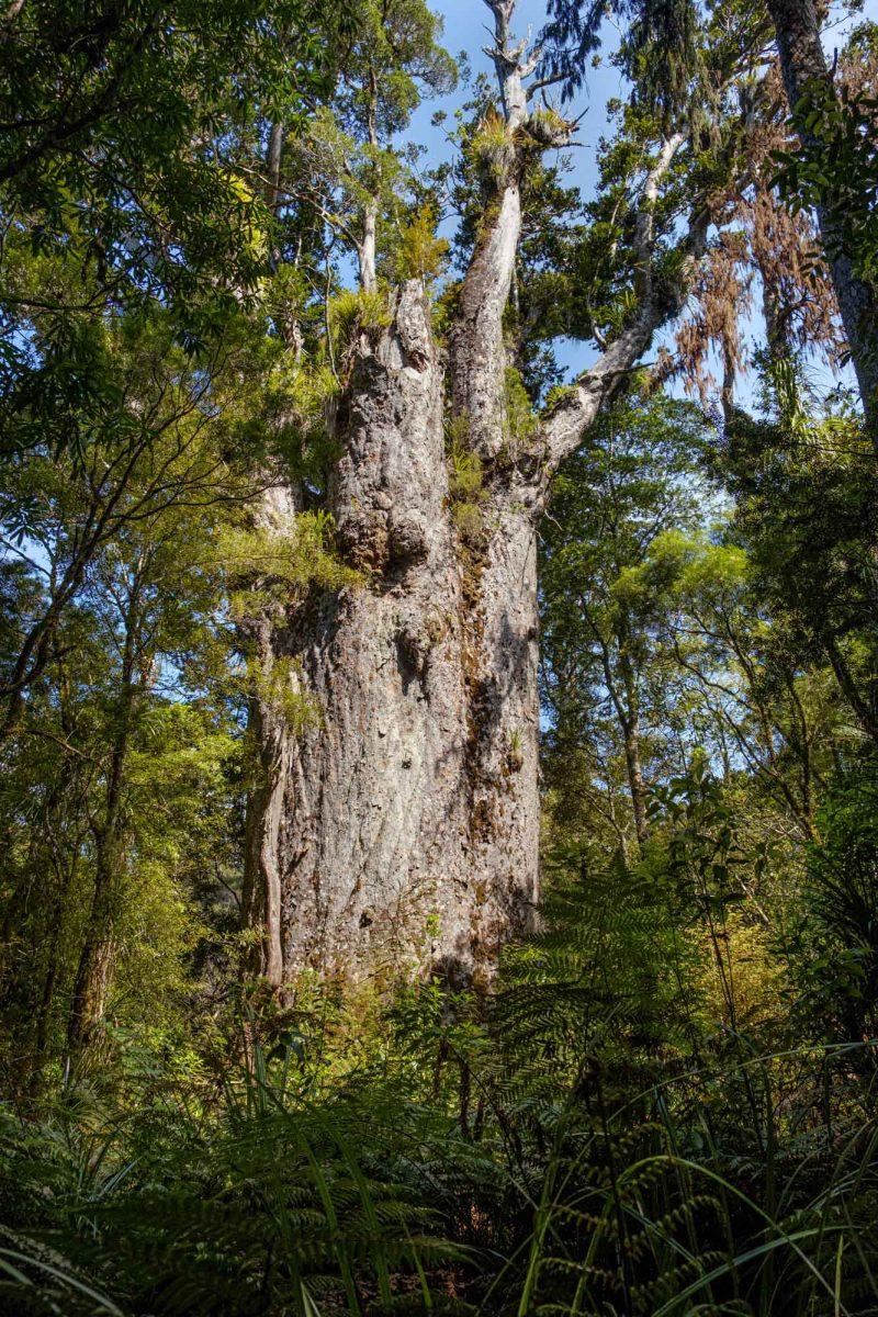 Tane Mahuta Waipoua forest Northland