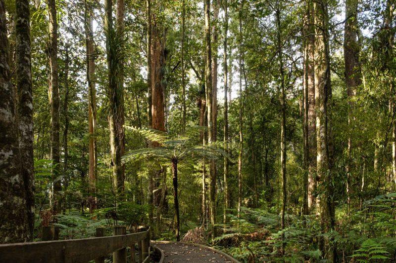 Trounson Kauri Park Waipoua Forest Northland